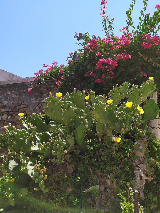 A prickle pear plant with yellow blooms in front of a bougainvillea.