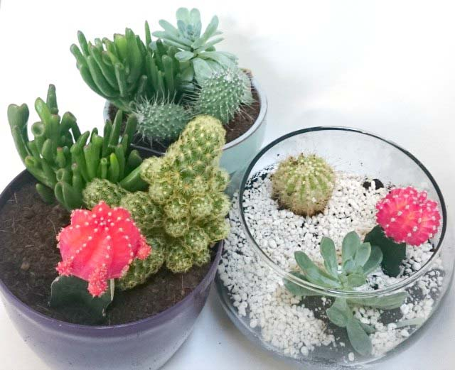 Velvet's terrarium with two more planters with different cacti arrangements.