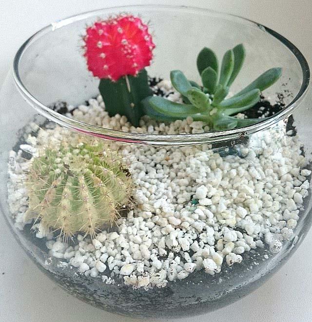 Velvet's first glass open terrarium with cacti.