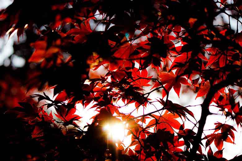 Red autumn leaves and a sun ray beaming through