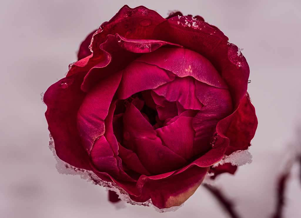 Detail of dark red rose