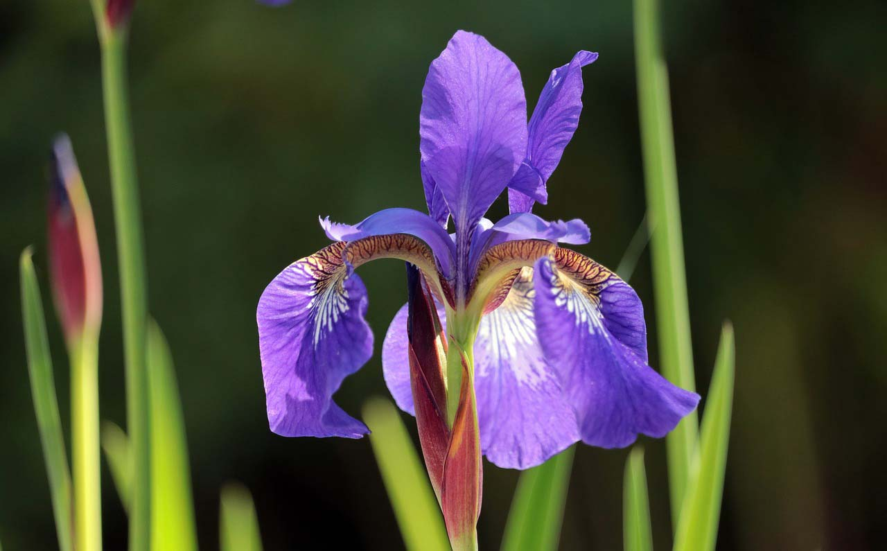 A purple iris against a blur green background