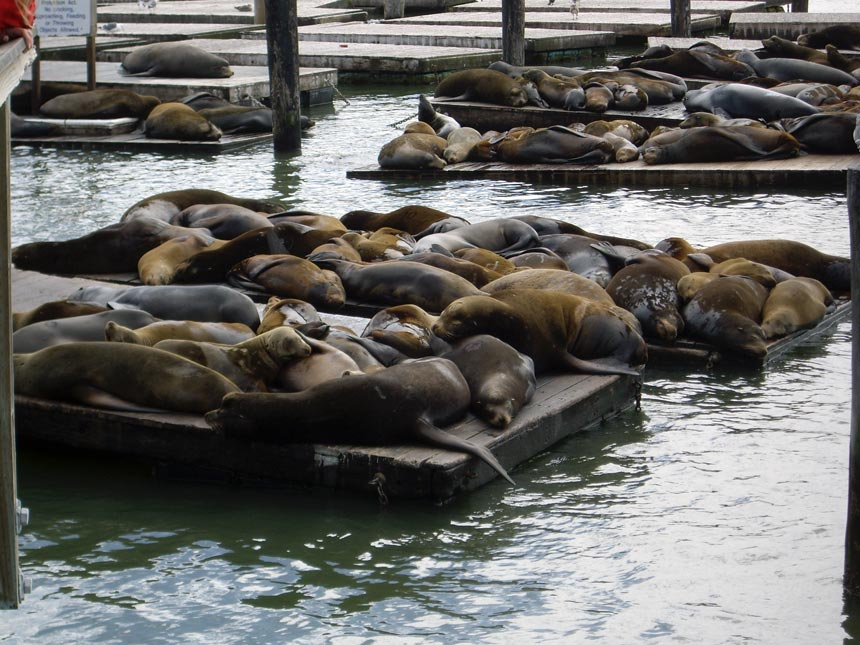 A bunch of sea lions sunbathing at Pier 39.
