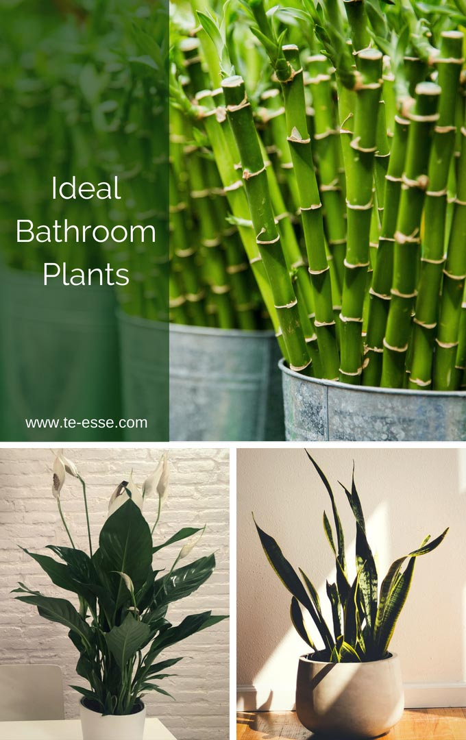Three images of three ideal bathroom plants: top lucky bamboo, bottom peace lily and snake plant.